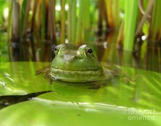 Frog On Lily Pad Photograph