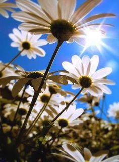 Sunshine on Daisies