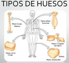 El hueso consta de:Huesos largos.Son  de forma alargada y tubular estructurados por un cuerpo central y dos extremos, los cuales forman parte de las articulaciones. Ejemplos de huesos largos son el húmero y el fémur, localizados en los brazos y las piernas, respectivamente.  Huesos planos:son planos y anchos, rellenos de tejido óseo esponjoso,el cráneo y el esternón son ejemplos de huesos planos.  Huesos cortos:Son estructuras óseas de tamaño reducido pueden presentar forma cilíndrica o… Medical Students, Medical School, Studying Medicine, Fat Burning Cardio Workout, Medicine Notes, Human Body Anatomy, School Images, Medical Anatomy, Anatomy Study