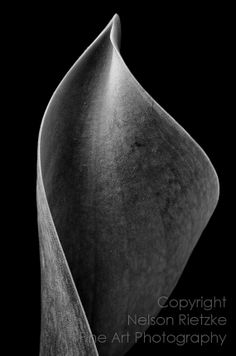 Curved Tulip Leaf, 8x12 Black and White Photography Print
