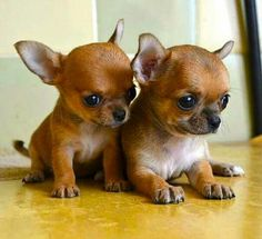 Two Too Cute Chihuahua's... #chihuahua