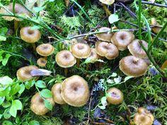 Hämmentäjä: Lampaankääpien ja suppilovahveroiden kuivaus.  Dried mushrooms. Funnel Chanterelles.