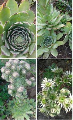 A népi gyógyászatban gyakran használják a növény levelének kipréselt, zselés nedvét külsőleg és belsőleg egyaránt gyulladáscsökkentő, hűsítő, összehúzó...