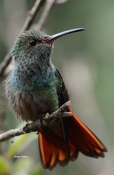 Enrique Pacheco - Fotógrafos de Aves de Costa Rica