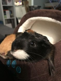 Bought my guinea pigs a lil bed#dogs #kitty #lovecats #kittens #animals #ねこ #animal #kitten #cat #pets #ilovemycat #love #catoftheday #happynewyear #adorable #catlover #pet #meow #猫 #cute #pinterest
