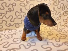 Navy blue knit sweater for dachshunds or small dogs,handmade knitted dog sweater, handmade knitted sweater for dachshund | dachshundknit Standard Dachshund, Mini Dachshund, Dachshund Clothes, Puppy Clothes, Yorkie Puppy, Chihuahua Puppies, Yorkshire Terrier, Boston Terrier, Mini Pinscher