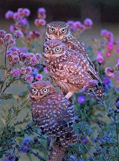 Like many owl species, this Burrowing owl family stays together. Beautiful Owl, Animals Beautiful, Cute Animals, Owl Photos, Owl Pictures, Pretty Birds, Love Birds, Burrowing Owl, Owl Bird