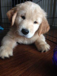 Golden puppy Remi