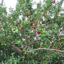 Aceroleira (Malpighia glabra)