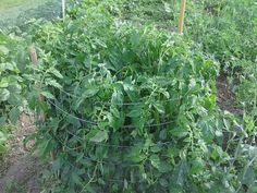 tomatoes and their need for water, gardening, End of June toping the 3 ft cage