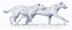 A study on the genus' premolar intercuspid notches indicate that Chasmaporthetes was likely hypercarnivorous rather than durophagus as its modern cousins (excluding the aardwolf) are. Description from carnivoraforum.com. I searched for this on bing.com/images