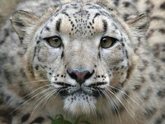 SD4_4086 by Steve Tracy Photography on Flickr.  Snow Leopard on the prowl