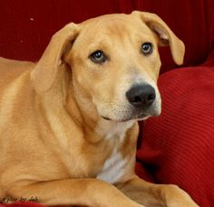 Adopted! Jaiden - Black Mouth Cur/Labrador Retriever mix - Mobile, AL. 1 yr old