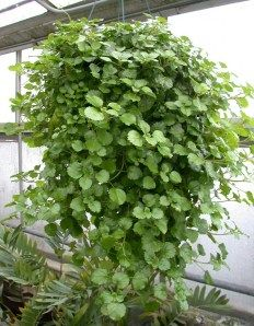 Swedish Ivy - How to care for your Swedish Ivy at http://lawnpatiobarn.wordpress.com/2010/02/26/swedish-ivy/