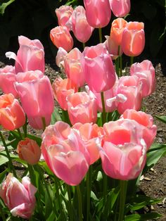 Nothing quite announces spring like tulips. Photographed in Gamble Garden, Palo Alto, by Mary Lou Etten.