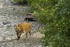 08 October, 2015, Sunderban Tiger Reserve, West Bengal, India