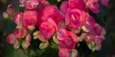 Επτά μυστικά για τη βιγόνια Camellia, Trees To Plant, Seeds, Home And Garden, Rose, Nature, Plants, Gardening, Balcony Ideas