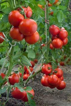 Nádherné bobule rajčat