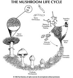 An overview of the mushroom life cycle