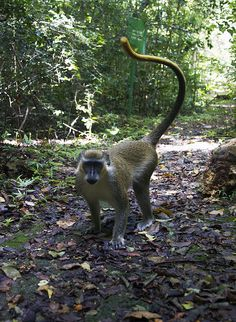 One of the smartest animals on the island #GreenMonkey, Barbados #Caribbeandreamsmagazine.com #Barbados