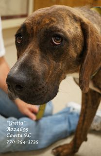 """(EXTREMELY URGENT)!!!  TO BE EUTHANIZED WED 6-5-13! You'll absolutely, positively fall in love with """"Gretta"""" the minute you meet her!  She's so gentle, loving, humble, easy going, willing to please & very, very quiet in her kennel. Unsure of her situation but once you get her out of her kennel,she just melts. This precious soul melted our hearts & it was so very hard to have to put her back. Heartworm NEG, vaccinated A024695 PLEASE CONTACTCOWETA CO ANIMAL CONTROLTO ADOPT HER 770-254-3735"""