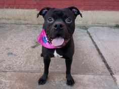 """TO BE DESTROYED ~MON 4/7/14 Brooklyn Center GENESIS - A0992329 FEMALE BLK PIT MIX 11 mos STRAY 2/23/14 **BABY ALERT!!! This is a puppy who's scared, but the right age to train & mold into the perfect companion! Having seizures- NEDS MED CARE! Volunteer rave """"She's got a lot of energy & is fun to play w/. Loves to play fetch & when she's done she will illicit affection from you. It will be such a shame for this girl to die after spending all this time in a shelter! I love her!!!!!!"""""""