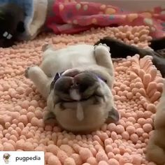 Meet Annie the cutest and sleepiest little bulldog! Video by: TagYou can find English bulldog puppies and . Funny Animal Videos, Funny Animal Pictures, Cute Funny Animals, Cute Baby Animals, Cute Pug Puppies, English Bulldog Puppies, Terrier Puppies, Lab Puppies, English Bulldogs