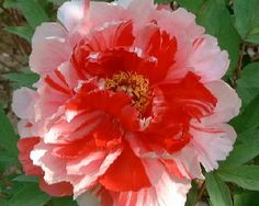 Shima Nishiki - Early Japanse Tree Peony, semi-double to double, lovely multi-color combination of pink outer petals with striking red in the center, (Japan). www.peonyshop.com