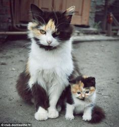 Fluffy cat and fluffy kitten    from club.doctissimo.fr via The Daily Mail