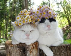 Omg love these beautiful cats! Funny Cats, Funny Animals, Cute Animals, Crazy Cat Lady, Crazy Cats, I Love Cats, Cool Cats, Costume Chat, Here Kitty Kitty