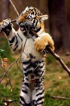 Funny Wildlife Tiger Cub.  Such a beautiful animal.