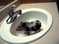 Piglet in the sink. I hope he's just their for a quick wash.