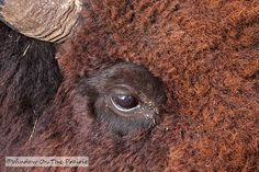 See BISON up close....whoops, maybe too close.