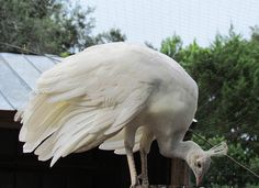 white spalding peafowl eating photos | http://www.atozpictures.com/white-spalding-peafowl-pictures