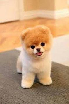 Boo el perrito mas lindo del mundo
