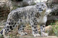 ..what a beautiful snow leopard...