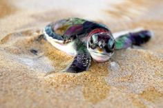 Baby Sea turtle~awwwwwwwwwwwwwwwwwwwwwwwwwwwwwww is that the cutest face ever or what? I want to cuddle this baby sea turtle so cute :) Cute Creatures, Sea Creatures, Beautiful Creatures, Animals Beautiful, Tiny Turtle, Turtle Love, Green Turtle, Sea Turtle Species, Baby Animals