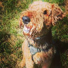 Can you resist my gaze!  #dogeyes #irresistible #givemeatreat #dogsmile #dogsmiles #smilingdogs #smilingdog #happydoggy #happydog #happydogs #Airedale