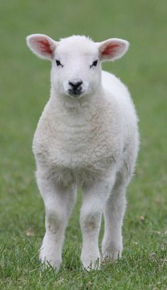 Spring Lamb :)