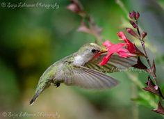Hummingbird Heaven by PhotographyBySaija on Etsy, $35.00 #hummingbird #birds #avian #wildlife #nature #wings #animals