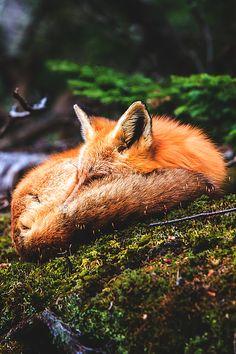 Red Fox by Wesley Liikane
