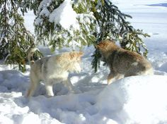 Huskies play, Rovaniemi, Lapland, Finland