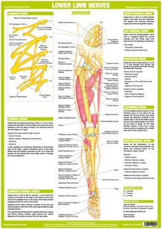 Unique set of 6 charts illustrating & explaining the human Nervous System showing Major Nerves of the Upper Limb, Lower Limb & the Origin of Cutaneous Nerves. Nervous System Anatomy, Human Nervous System, Muscle Anatomy, Body Anatomy, Human Anatomy, Nerve Anatomy, Spinal Nerves Anatomy, Cauda Equina Syndrome, Femoral Nerve