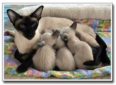 ::: Blakewood Kittens :::..siamese mom w kittens