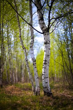 Amongst the Birches