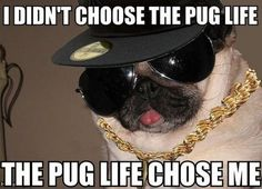 Funny pictures about A Thug Pug. Oh, and cool pics about A Thug Pug. Also, A Thug Pug photos. Funny Dog Memes, Funny Animal Memes, Funny Dogs, Funny Animals, Animal Funnies, Funny Quotes, Pug Quotes, Dog Funnies, Unicorn Quotes