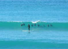 A pod of 9 Dolphins surfing a wave behind a stand-up paddle boarder in Elouera Beach in New South Wales, Australia.