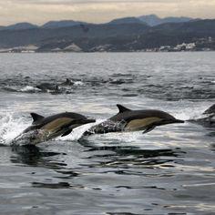 Dolphins in Todos Santos Bay, Ensenada. Photo by Roberto Barrueco via Destino Ensenada on FB.