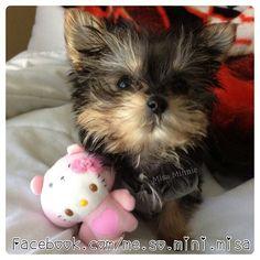 Baby Misa - #yorkie puppie