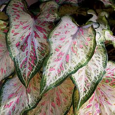 'Candyland' Caladium:  Strap-leaf; grow in sun to shade; love the spots.  I grow this in containers mixed with other things and it grows quite tall for me when I use Miracle-Gro.